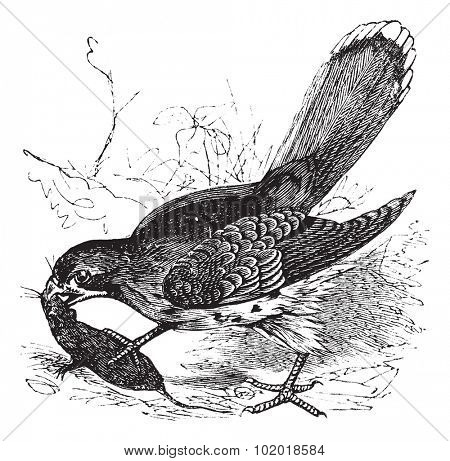 Falcon or Falco sp., vintage engraving. Old engraved illustration of a Falcon feeding on a mouse. Trousset Encyclopedia.