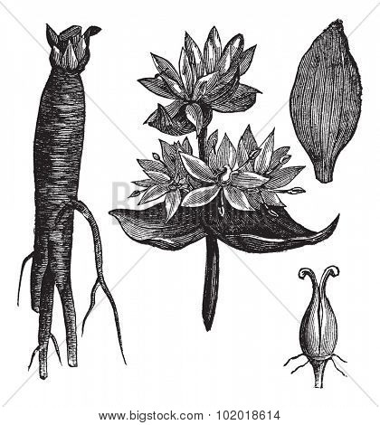 Great Yellow Gentian or Gentiana lutea or Yellow Gentian or Bitter Root or Bitterwort or Centiyane or Genciana, vintage engraving. Isolated on a white background. Trousset Encyclopedia.