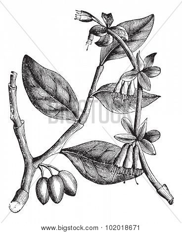 Eastern Leatherwood or Dirca palustris, vintage engraving. Old engraved illustration of an Eastern Leatherwood plant showing flower buds (left) and mature flowers (right). Trousset Encyclopedia