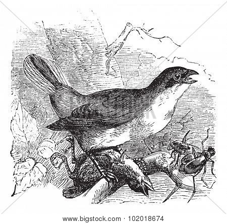 Red-backed Shrike or Lanius collurio, vintage engraving. Old engraved illustration of a Red-backed Shrike preying on another bird and also some insects. Trousset Encyclopedia