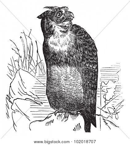 Great Horned Owl or Tiger Owl or Bubo virginianus, vintage engraving. Old engraved illustration of a Great Horned Owl. Trousset Encyclopedia