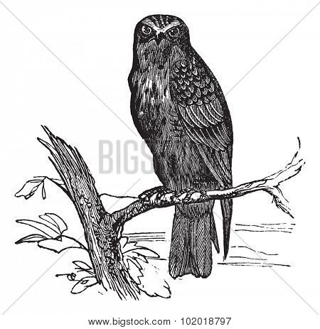 Eurasian Hobby or Falco subbuteo, vintage engraving. Old engraved illustration of Eurasian Hobby waiting on a branch. Trousset Encyclopedia