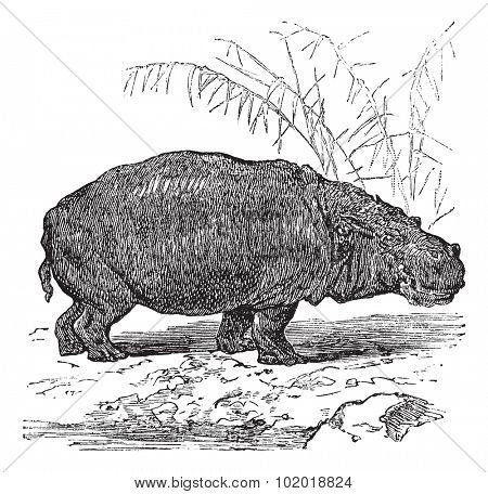 Hippopotamus or Hippopotamus amphibius or Hippo or Hippopotami, vintage engraving. Old engraved illustration of Hippopotamus, close to the water. Trousset Encyclopedia.