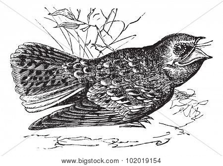 Chuck-will's-widow or Caprimulgus carolinensis, vintage engraving. Old engraved illustration of a Chuck-will's-widow. Trousset Encyclopedia