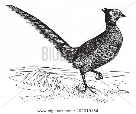 Common Pheasant or Phasianus colchicus, vintage engraving. Old engraved illustration of a Common Pheasant. Trousset Encyclopedia