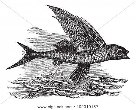 Flying Fish or Exocoetidae, vintage engraving. Old engraved illustration of a Flying Fish. Trousset Encyclopedia
