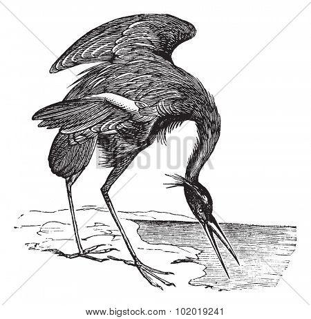 Great Blue Heron (Ardea herodias) vintage engraving. Old engraved illustration of beautiful Great Blue Heron. Trousset Encyclopedia