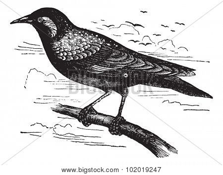 Common Starling or European Starling or Sturnus vulgaris, vintage engraving. Old engraved illustration of a Common Starling. Trousset Encyclopedia