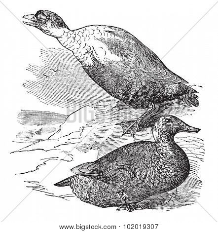 King Eider or Somateria spectabilis, vintage engraving. Old engraved illustration of a King Eider showing male drake (top) and female hen (bottom). Trousset Encyclopedia