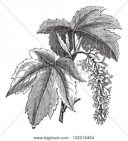 Sycamore or Sycamore Maple or Acer pseudoplatanus, vintage engraving. Old engraved illustration of a Sycamore showing flowers.  Trousset encyclopedia (1886 - 1891)