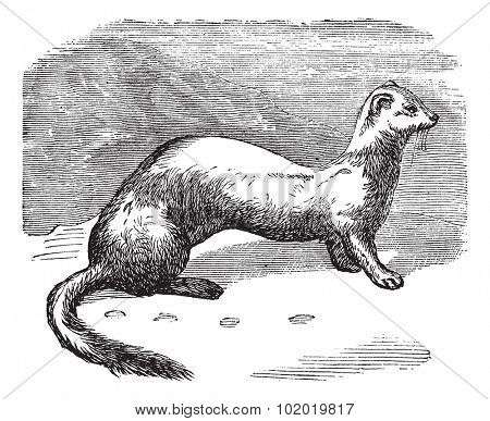 Stoat (Mustela erminea) or Ermine or short-tailed weasel in winter pelt vintage engraving. Old engraved illustration of Ermine in winter pelt. Trousset encyclopedia (1886 - 1891)