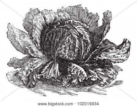 Lettuce (Lactuca sativa) vintage engraving. Old engraved illustration of lettuce isolated on white.  Trousset encyclopedia (1886 - 1891).