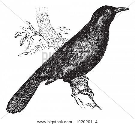Common blackbird (Turdus merula) or Eurasian Blackbird perched on branch, vintage engraved illustration. Trousset encyclopedia (1886 - 1891).