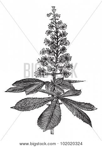 Horse-chestnut or Aesculus hippocastanum or Conker tree or Buckeye, vintage engraving. Old engraved illustration of Horse-chestnut isolated on a white background. Trousset encyclopedia (1886 - 1891).