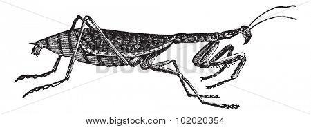 European Mantis or Mantis religiosa or Praying Mantis, vintage engraving. Old engraved illustration of European Mantis isolated on a white background. Trousset encyclopedia (1886 - 1891).