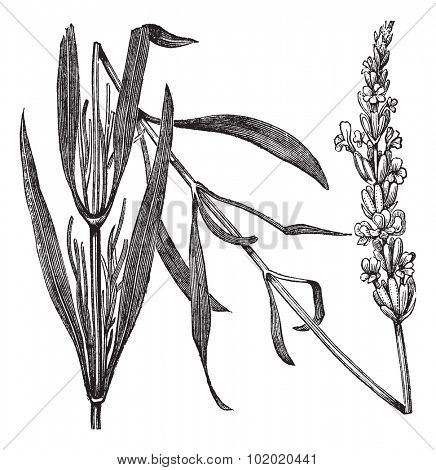 Common Lavender or Lavandula angustifolia or True Lavender or narrow-leaved lavender or English lavender, vintage engraved illustration. Trousset encyclopedia (1886 - 1891).