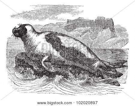Harp seals (Phoca groenlandica) or Saddleback seal, vintage engraved illustration. Harp Seal on Ice floe. Trousset encyclopedia (1886 - 1891).