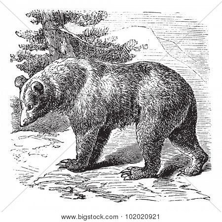 Cinnamon Bear (Ursus occidentalis), vintage engraved illustration.Trousset encyclopedia (1886 - 1891).