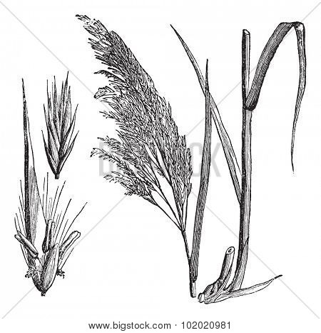 Common reed (Phragmites communis), vintage engraved illustration. Common reed, a large perennial grass. Trousset encyclopedia (1886 - 1891).