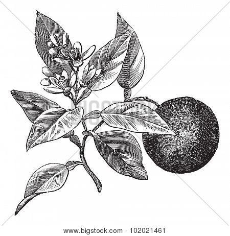 Sweet orange or Citrus aurantium, isolated on white, vintage engraved illustration. Trousset encyclopedia (1886 - 1891).
