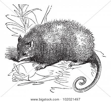 Opossum or Didelphis Virginiana, vintage engraved illustration.  Trousset encyclopedia (1886 - 1891).