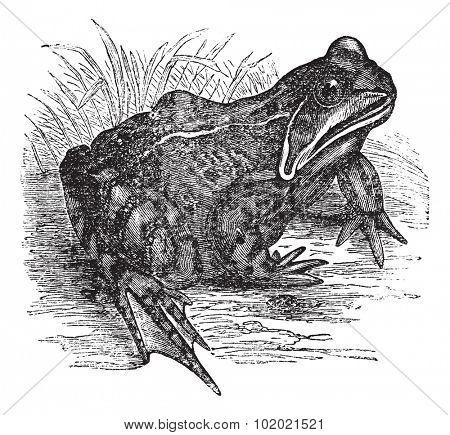 European common frog or European Common Brown Frog or Rana temporaria vintage engraving. Old engraved illustration of European common frog. Trousset encyclopedia (1886 - 1891).