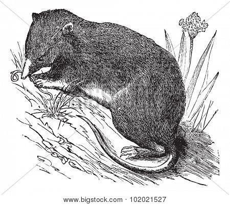 Common Shrew or Eurasian Shrew or Sorex araneus, vintage engraved illustration. Trousset encyclopedia (1886 - 1891).