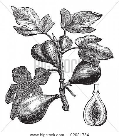 Common Fig or Ficus carica, vintage engraving. Old engraved illustration of Common Fig showing fruits. Trousset encyclopedia (1886 - 1891).