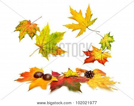 Autumn Maple Leaves Beautifully Falling Down