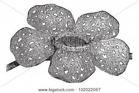 Rafflesia arnoldii or Rafflesia titan or Corpse flower, vintage engraving. Old engraved illustration of Rafflesia arnoldii.  Trousset encyclopedia (1886 - 1891).