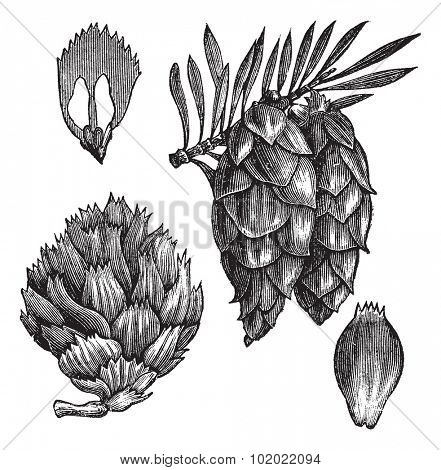 Black Spruce or Picea mariana or Abies mariana or Picea brevifolia or Picea nigra, vintage engraving. Illustration of Black Spruce isolated on a white background. Trousset encyclopedia (1886 - 1891).