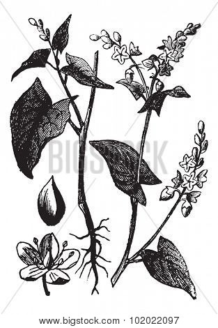 Buckwheat or Fagopyrum esculentum or Common Buckwheat, vintage engraving. Old engraved illustration of Buckwheat isolated on a white background. Trousset encyclopedia (1886 - 1891).