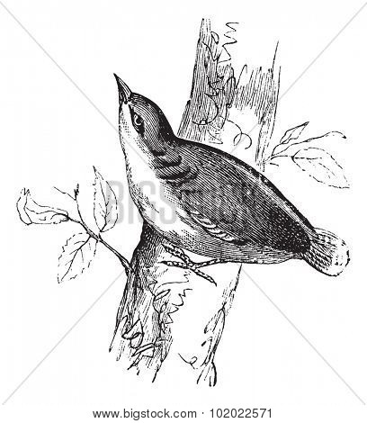 Eurasian Nuthatch or Sitta europaea or Nuthatch, vintage engraving.  Old engraved illustration of Eurasian Nuthatch waiting on a branch. Trousset encyclopedia (1886 - 1891).