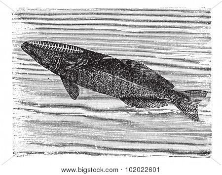 Spearfish Remora or Remora brachyptera, vintage engraving. Old engraved illustration of a Spearfish Remora. Trousset encyclopedia (1886 - 1891).