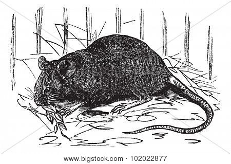 House mouse or Mus musculus, vintage engraving. Old engraved illustration of House mouse. Trousset encyclopedia (1886 - 1891).