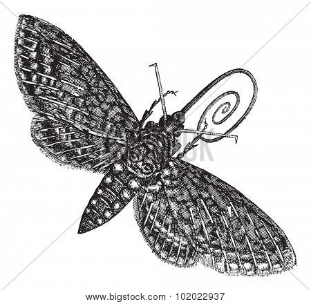 Hawk-Moth or Sphinx quinquemaculatus, vintage engraving. Old engraved illustration of Hawk-Moth isolated on a white background. Trousset encyclopedia (1886 - 1891).
