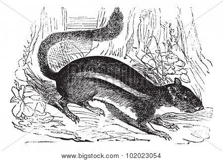 Ground squirrel (Tamias striatus) or Eastern chipmunk , vintage engraved illustration. Curious ground squirrel. Trousset encyclopedia (1886 - 1891).