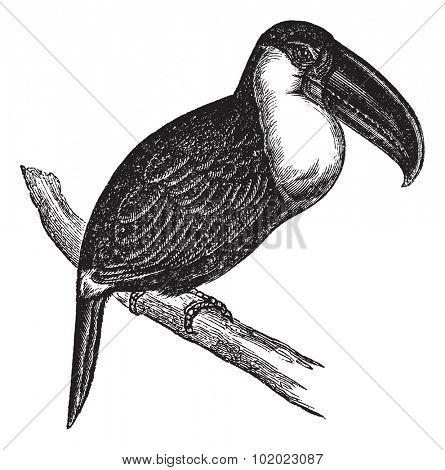 Lettered Aracari or Pteroglossus inscriptus, vintage engraved illustration. Trousset encyclopedia (1886 - 1891).
