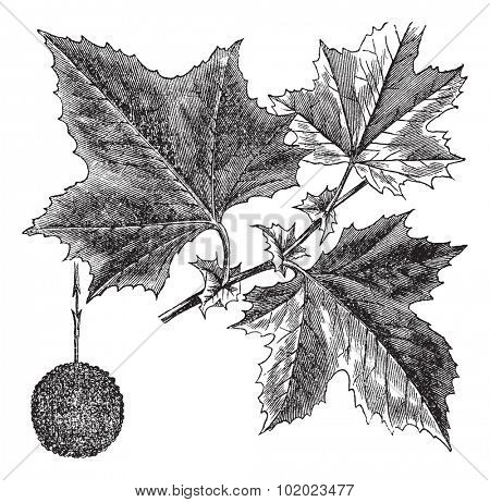 American Sycamore or Platanus occidentalis, vintage engraved illustration. Trousset encyclopedia (1886 - 1891).