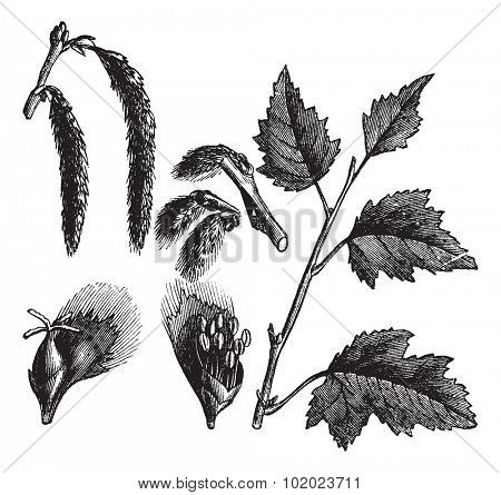 White Poplar or Populus alba, vintage engraved illustration, showing female catkins (upper left) and male catkins (lower left). Trousset encyclopedia (1886 - 1891).