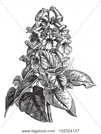 Paulownia or Paulownia sp., vintage engraved illustration. Trousset encyclopedia (1886 - 1891).