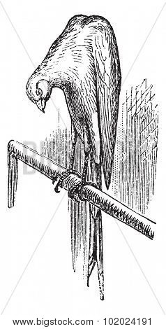 Belgian canary, vintage engraving. Old engraved illustration of Belgian canary. Trousset encyclopedia (1886 - 1891).