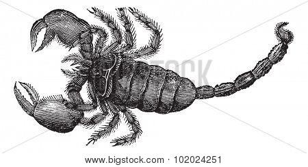 Black Scorpion (Scorpio afer), vintage engraved illustration. Black Scorpion isolated on white.Trousset encyclopedia (1886 - 1891).