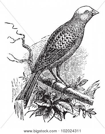 Lizard Canary, vintage engraving.  Old engraved illustration of Lizard Canary waiting on a branch.  Trousset encyclopedia (1886 - 1891).
