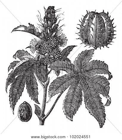 Castor oil plant or Ricinus communis or Palm of Christ, vintage engraving. Old engraved illustration of Castor oil plant isolated on a white background. Trousset encyclopedia (1886 - 1891).
