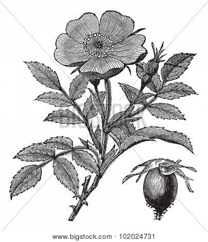 Sweet briar or Rosa rubiginosa or Eglantine Rose or R. eglanteria, vintage engraving. Old engraved illustration of Sweet briar isolated on a white background. Trousset encyclopedia (1886 - 1891).