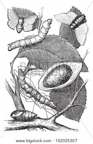 Silkmoth or Bombyx mori, showing (from bottom to top) larva, chrysalis, cocoon, and adult moth, vintage engraved illustration. Trousset encyclopedia (1886 - 1891).