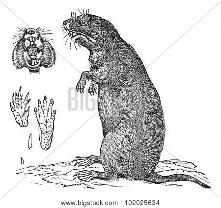 Thomomys bulbivorus or Camas Pocket Gopher. 1, front view of mouth, teeth and jaw, -2, hind legs - 3, foreleg, -4, 5, nail the foreleg and hind leg,  Trousset encyclopedia 1886 - 1891