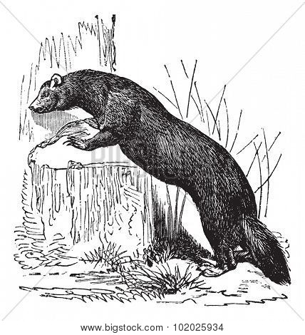 European polecat (Mustela putorius) or black polecat or forest polecat, vintage engraved illustration. European polecat. Trousset encyclopedia (1886 - 1891).
