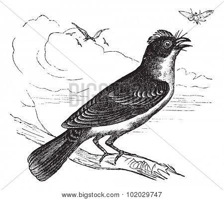 Eastern Kingbird or Tyrannus tyrannus, vintage engraved illustration. Trousset encyclopedia (1886 - 1891).